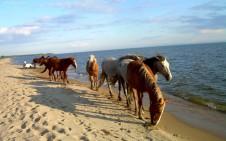 Стадо диких лошадей на острове Тендра - Yachts.ua