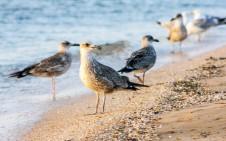 Чайки на пляже Кинбурнской косы - Yachts.ua